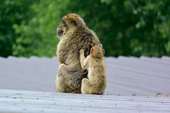 Barbary macaque. With baby monkey Stock Photos