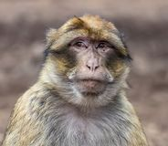 Barbary Macaque. A Barbary macaque casts a wary eye at a park in Ifrane, near the larger city of Azrou, Morocco; October 9, 2018. The monkey is in the subfamily royalty free stock image