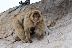 A Barbary macaque with baby royalty free stock photo