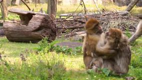 Barbary macaque couple hugging each other and making funny faces, social primate behavior, endangered animal specie from Africa