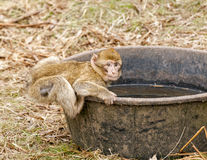 Barbary macaque drinking water Stock Photography