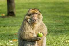 Barbary Macaque eating an apple  in open field Royalty Free Stock Images