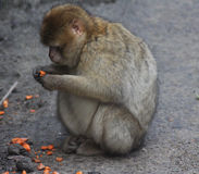 Barbary macaque Stock Images