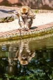 Barbary macaque eats by the water royalty free stock photo