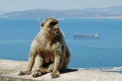 Barbary Macaque eller apa, Gibraltar Fotografering för Bildbyråer
