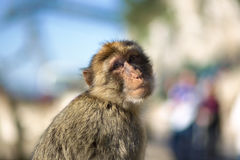 The Barbary Macaque of Gibraltar. Royalty Free Stock Photos