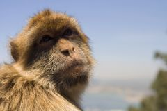 Barbary Macaque in Gibraltar. Great Britain Stock Photo