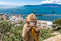 Barbary macaque in Gibraltar eating a banana
