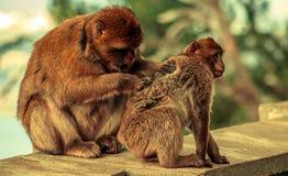 Barbary macaque in Gibraltar. Europe Royalty Free Stock Photos