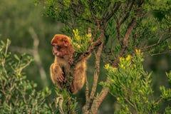Barbary macaque in Gibraltar. Europe Stock Photos