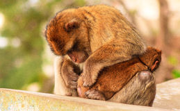 Barbary macaque in Gibraltar. Europe Stock Image