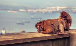 Barbary macaque in Gibraltar Royalty Free Stock Photo