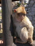 Barbary Macaque. On Gibraltar rock Royalty Free Stock Images