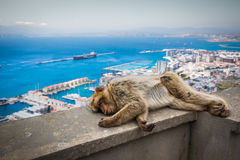 Barbary macaque in Gibraltar, UK. Barbary macaque in Gibraltar, UK Stock Images
