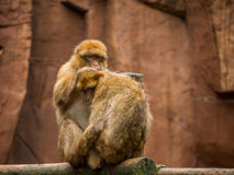 Barbary macaque grooming Royalty Free Stock Image