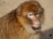 Barbary macaque head Stock Photos