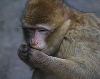 Barbary macaque head Royalty Free Stock Image