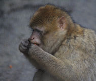 Barbary macaque head Royalty Free Stock Images