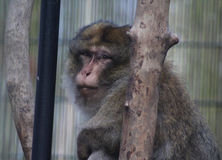 Barbary macaque head Stock Images