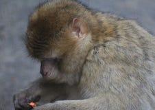 Barbary macaque head Stock Image
