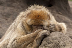 Barbary Macaque looks at you secretly Royalty Free Stock Photo