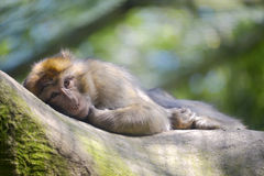 Barbary macaque lying Stock Image