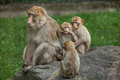 Barbary macaque Macaca sylvanus Royalty Free Stock Photo