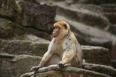 Barbary macaque (Macaca sylvanus). Stock Photos