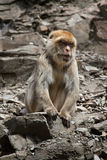 Barbary macaque (Macaca sylvanus), also known as the maggot. Stock Photo