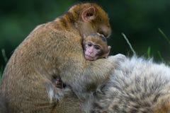 Barbary Macaque (Macaca Sylvanus) Stock Photo