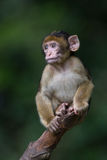 Barbary Macaque (Macaca Sylvanus) Royalty Free Stock Images