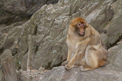 Barbary Macaque Macaca sylvanus on the background of rocks. Stock Photo
