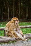 Barbary Macaque Macaca Sylvanus. Sitting on the Bench Stock Images