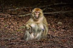 Barbary Macaque Macaca Sylvanus. Sitting on the Ground Royalty Free Stock Images