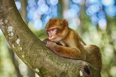 Barbary Macaque Macaca Sylvanus Stock Photos