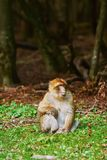 Barbary Macaque Macaca Sylvanus. On the Tree Royalty Free Stock Photos
