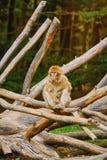 Barbary Macaque Macaca Sylvanus. On the Tree Stock Photography