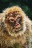 Barbary Macaque Macaca Sylvanus. Closeup Portrait of Barbary Macaque Macaca Sylvanus Stock Photos