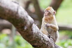 Barbary Macaque (Macaca sylvanus) Stock Photos