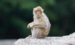 Barbary Macaque (Macaca sylvanus) Royalty Free Stock Photography