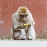 Barbary Macaque (Macaca sylvanus) Stock Photography