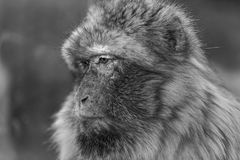The monkey, The Barbary macaque Macaca sylvanus. The Barbary macaque Macaca sylvanus, the nice monkey black and white Royalty Free Stock Photos