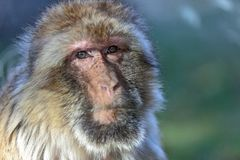 The monkey, The Barbary macaque Macaca sylvanus. The Barbary macaque Macaca sylvanus, the nice monkey Royalty Free Stock Photography