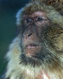 The monkey, The Barbary macaque Macaca sylvanus. The Barbary macaque Macaca sylvanus, the nice monkey Stock Photos