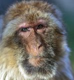 The monkey, The Barbary macaque Macaca sylvanus. The Barbary macaque Macaca sylvanus, the nice monkey Stock Images