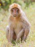 Barbary Macaque (Macaca sylvanus) Stock Image