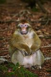 Barbary Macaque Macaca Sylvanus. Sitting on the Ground Stock Photos