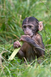 Barbary Macaque (Macaca Sylvanus) Royalty Free Stock Image