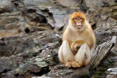Barbary macaque, Macacasylvanus som sitter på vagga, Gibraltar, Spanien Djurlivplats från naturen Kall vinter med apan Anim royaltyfri bild