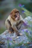 Barbary macaque monkey stock photography